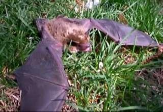 Rabid Bat in Colorado view on ebaumsworld.com tube online.