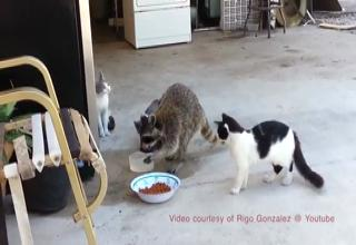 Raccoon Stealing Cat Food With Commentary