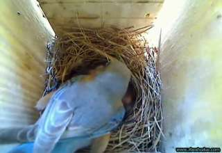 Bluebirds feed young in nest box! view on ebaumsworld.com tube online.