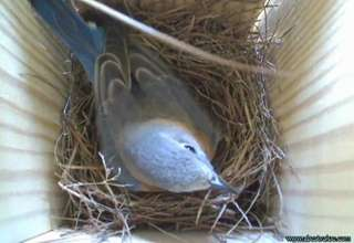 Bluebirds have 5 eggs plus Barney feeds Marissa! view on ebaumsworld.com tube online.