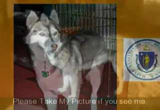 Help Bring Bridgett Home Missing Massachusetts Husky  Pets Plus view on ebaumsworld.com tube online.