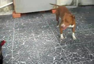 Rooster fights pit bull an unequal fight. view on ebaumsworld.com tube online.