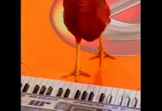 Rooster playing piano.