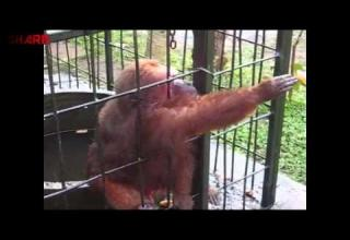 Monkey Goes Ape Shit Over Bananas