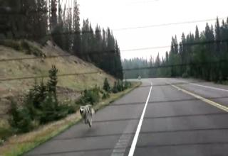 wolf chases down a family in their car