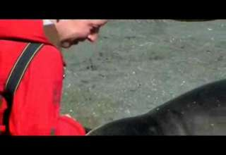 Huge Elephant Seal Wants to Snuggle With Tourist on Beach view on ebaumsworld.com tube online.