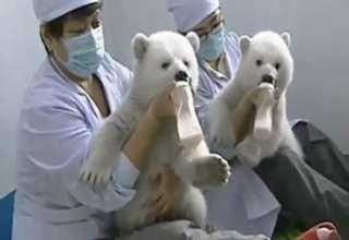 Twin Polar Bear Cubs In Chinese Aquarium view on ebaumsworld.com tube online.