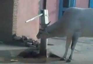 Smart Cow Operates Water Pump .. view on ebaumsworld.com tube online.