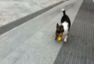 Dog Plays Catch With Himself