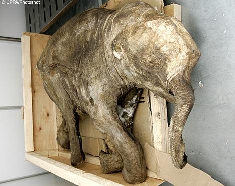 This baby mammoth was found mummified.
