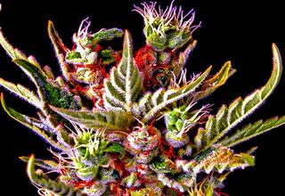 Some pictures of marijuana, and marijuana related humor.