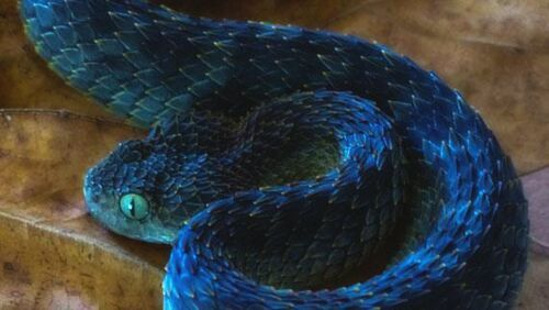 22 Pics of the Coolest Poisonous Snake in the World - the
