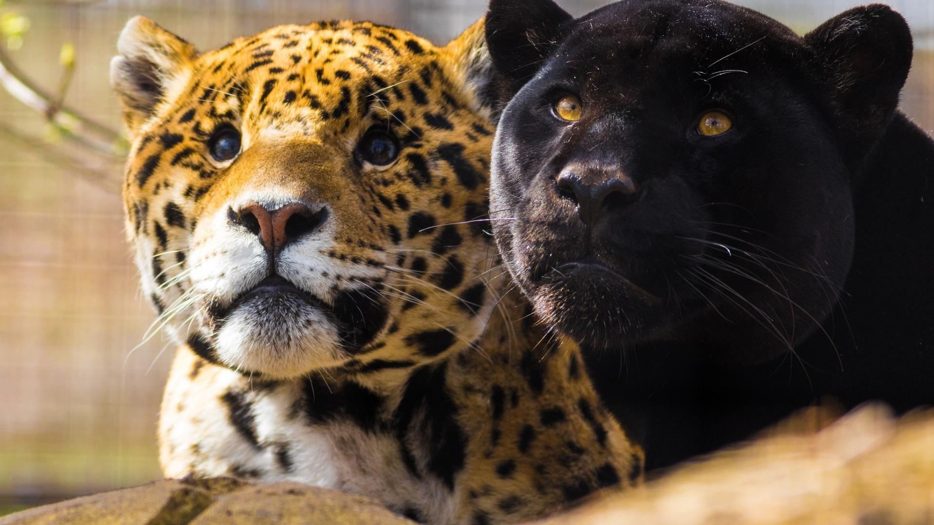 широколистный пума и леопард фото окошек почти