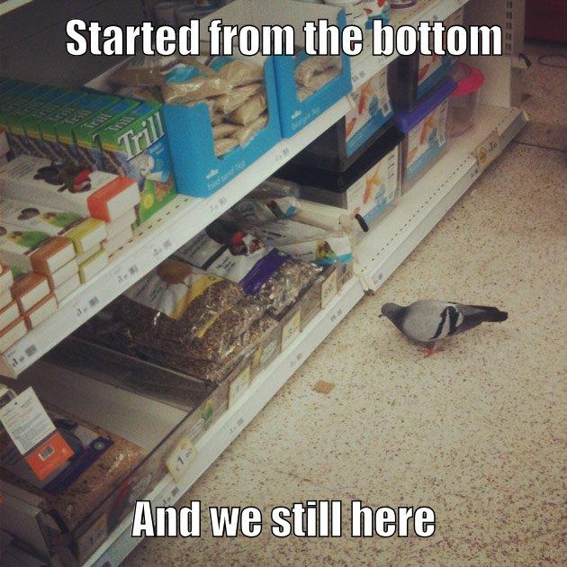drake pigeon
