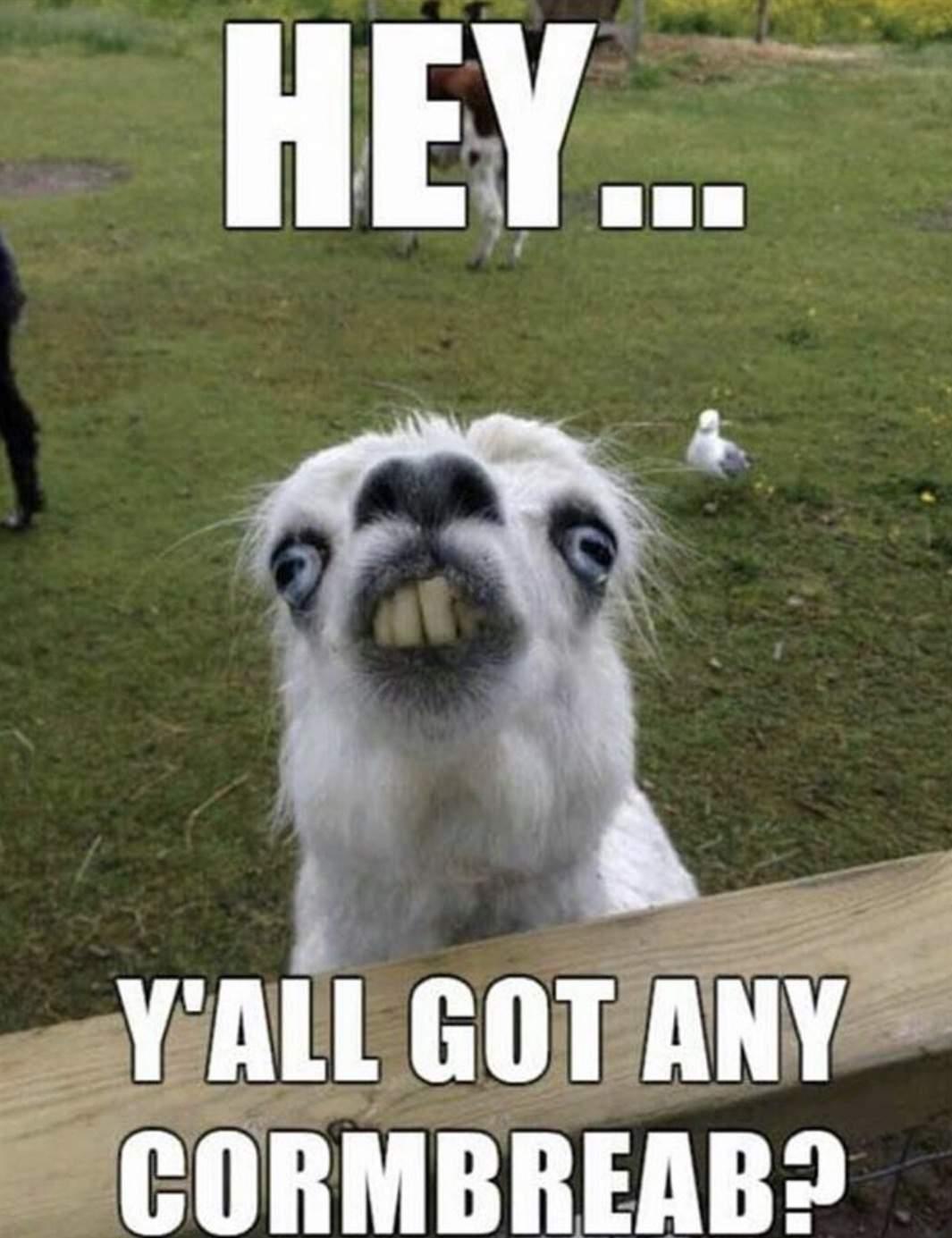 Funny animal yall got any cornbreab