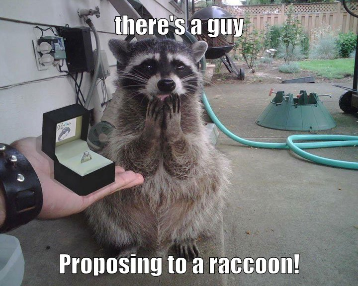 a guy proposes to a raccoon.