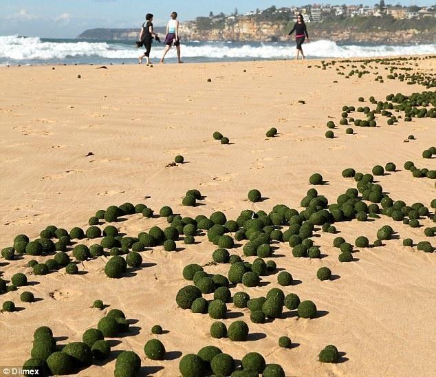 1 Egg Shaped Seaweed Eared On Sydney S Dee Why Beach In Australia