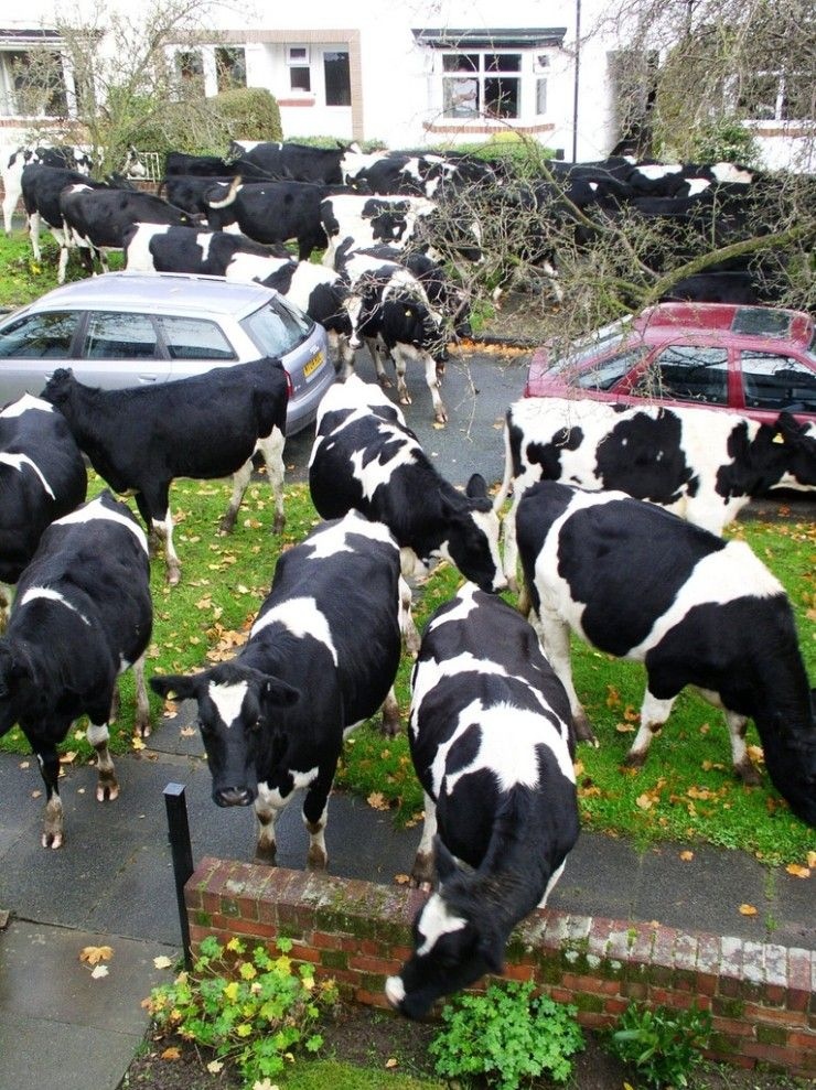 There's a couple of dozen cows in my yard!