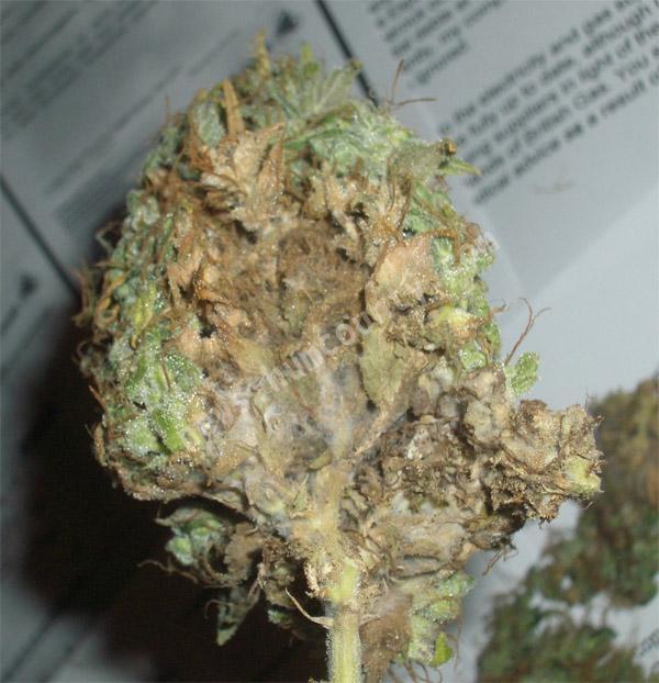 Плесень на конопле головная боль из за марихуаны