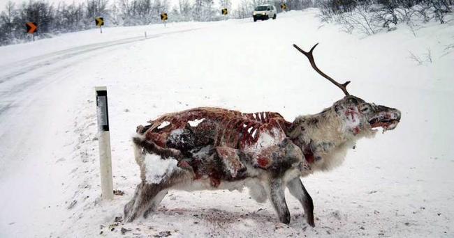 A frozen Reindeer that fell victim to coyotes.