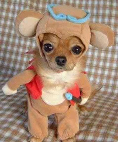 Pomeranian In A Funny Costume