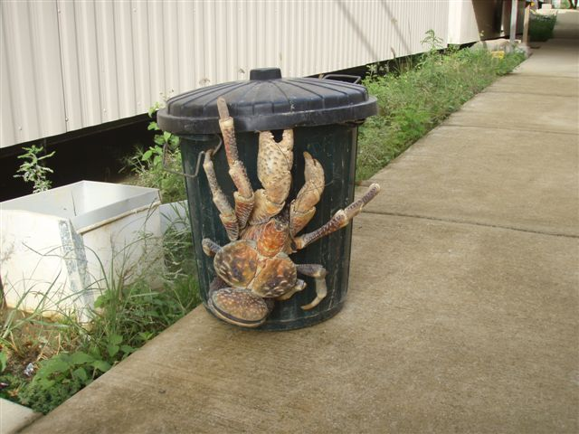 This is called a coconut crab...it looks like it has a hamburger for a butt!