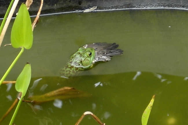 Discovered this in my fishpond this morning