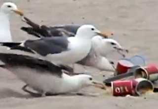 seagulls eating laxative filled cips