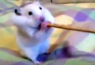 This hamster is stretching the laws of physics (and his cheeks).