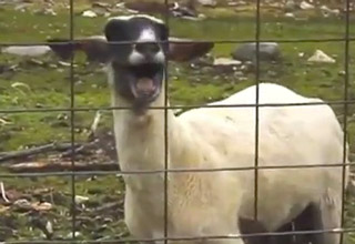 Two Minutes of Nothing But Goats Yelling Like Humans
