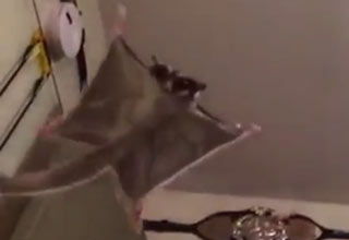 A perched sugar glider takes a leap and gracefully floats down to the floor.