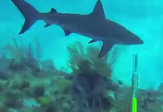A diver gets an unexpected surprise attack from a Caribbean Reef shark. Hope his shorts weren't ruined.