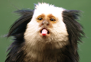 22 facts you never knew about marmosets.
