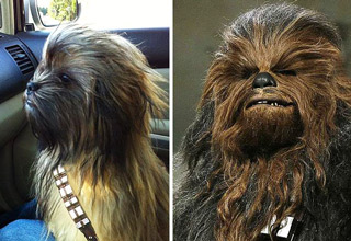 Look-Alike Dog Memes - dog meme that looks like chewbacca