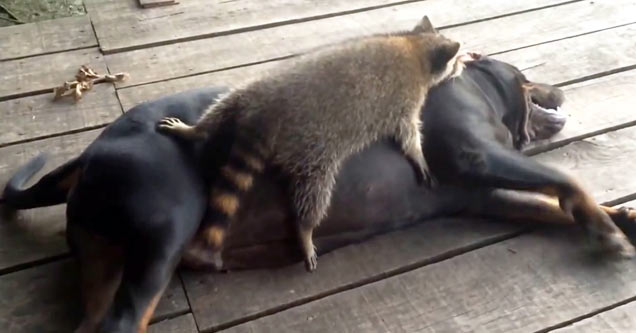 Raccoon And Coon Hound Are Best Buds Animals Amp Nature