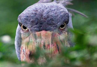 Meet the Shoebill Stork, a very large bird that lives in the swamps of Africa.