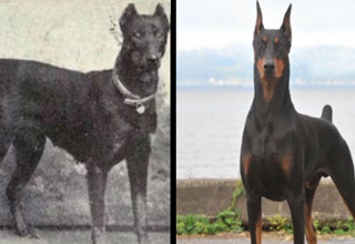 The difference a century of breeding can make is startling.