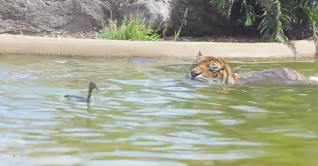 Bravest Chicken Ever: Duck Plays Dangerous Game Of Chicken With Tiger!