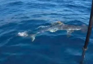 Massive Deep Sea Shark Checks Out the OceanX Submarine - Wow