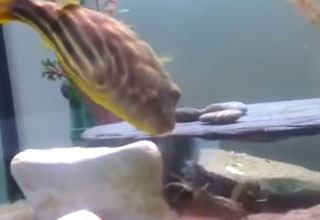 puffer fish attacks crawfish after being pinched