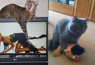 cat pawing at the image of a lady, another cat in a humping position over a stuffed bert from sesame street