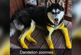 a husky covered in yellow pollen from running through a field of dandelions