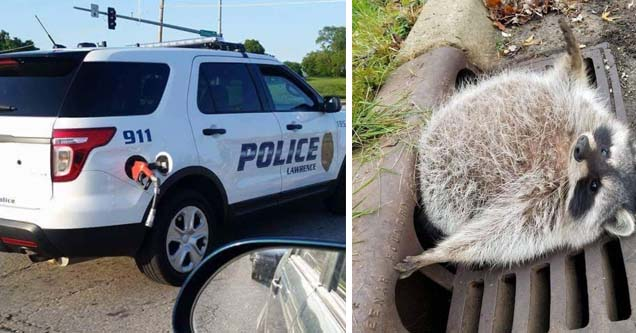 a police car with the gas pump hanging out, a raccoon stuck in the drain of a sewer