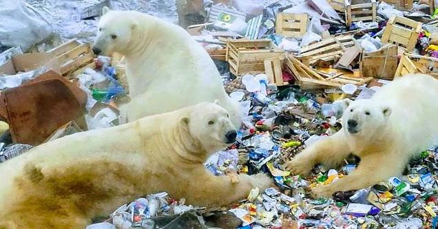 Polar bears taking over town, eating garbage.