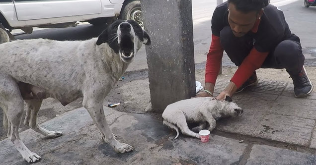 a white and black female dog barks and a man bending over to help her injured puppy
