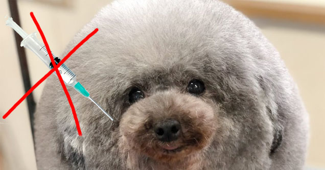 a poodle not getting the shot it desperately needs