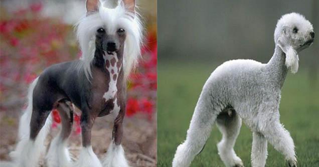 Chinese Cresteds. Bedlington Terrier
