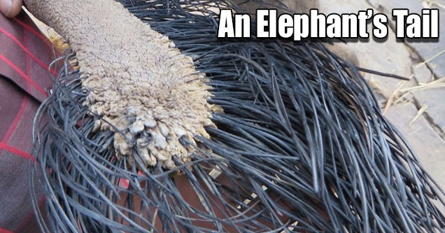 a close up photo of an elephants tail
