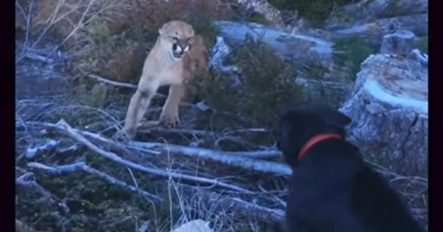 a black lab with a red collar standing on a rocky hillside is growling at a cougar who is hissing at him