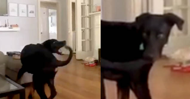 Black dog biting his tail. Dog with tail in his mouth.